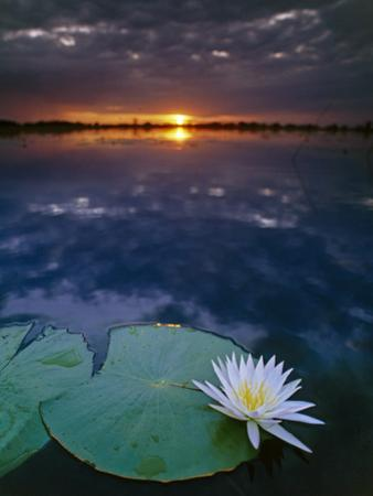 Day-Blooming Water Lily Closing at Sunset, Okavango Delta, Botswana by Frans Lanting