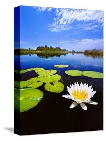 Day-Blooming Water Lily, Okavango Delta, Botswana