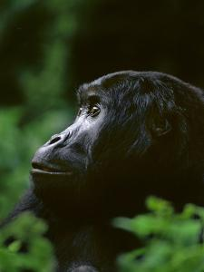Eastern Lowland Gorilla, Gorilla Gorilla Graueri, Kahuzi Biega National Park, Congo (DRC) by Frans Lanting