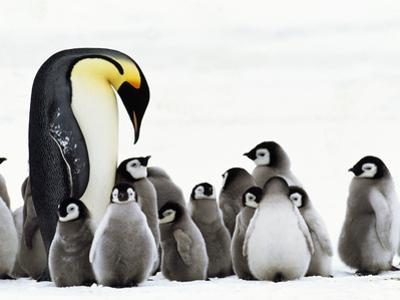 Emperor Penguin Parent Looking for Chick in Creche, Aptenodytes Forsteri, Weddell Sea, Antarctica