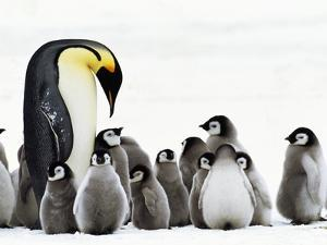 Emperor Penguin Parent Looking for Chick in Creche, Aptenodytes Forsteri, Weddell Sea, Antarctica by Frans Lanting