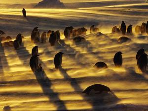 Emperor Penguins in Blizzard, Aptenodytes Forsteri, Weddell Sea, Antarctica by Frans Lanting
