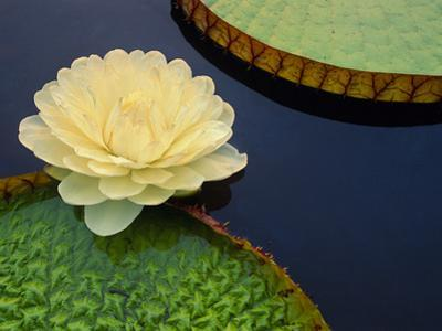 Giant Water Lily, Pantanal, Brazil by Frans Lanting