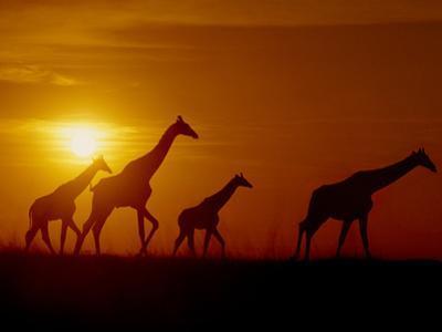 Giraffes at Sunset, Okavango Delta, Botswana by Frans Lanting