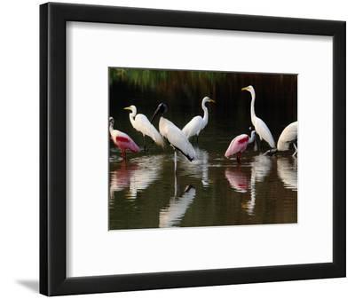 Great Egrets, Ardea Alba, Wood Storks, Mycteria Americana, and Roseate Spoonbill, Pantanal, Brazil