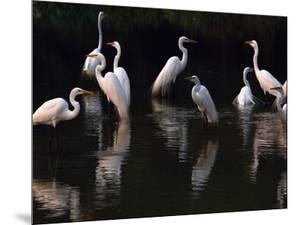 Great Egrets in Lagoon, Pantanal, Brazil by Frans Lanting