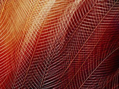 Greater Bird of Paradise Plumage, Paradisaea Apoda, Papua New Guinea by Frans Lanting