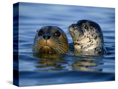 Harbor Seals, Phoca Vitulina, Monterey Bay, California