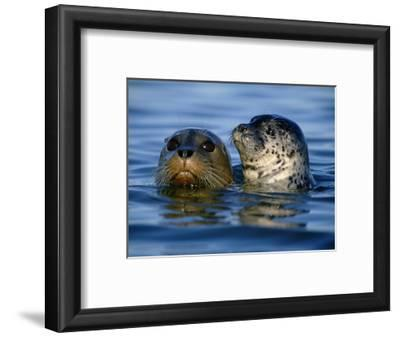 Harbor Seals, Phoca Vitulina, Monterey Bay, California