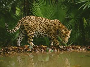 Jaguar at Waterhole, Panthera Onca, Belize by Frans Lanting
