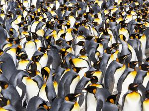 King Penguin Colony, Aptenodytes Patagonicus, South Georgia Island by Frans Lanting