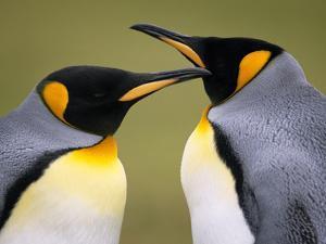 King Penguins Courting, Aptenodytes Patagonicus, Falkland Islands by Frans Lanting