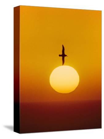 Laysan Albatross Flying Above Sun, Phoebastria Immutabilis, Hawaiian Leeward Islands
