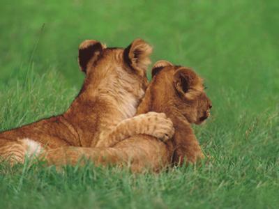 Lion Cubs, Masai Mara Reserve, Kenya by Frans Lanting
