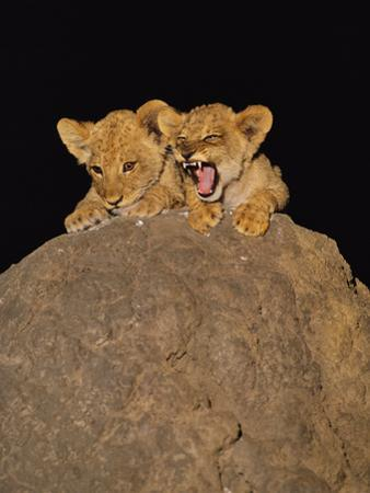 Lion Cubs on Termite Mound, Panthera Leo, Chobe National Park, Botswana