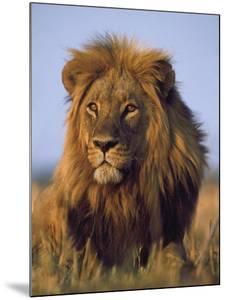 Lion, Panthera Leo, Chobe National Park, Botswana by Frans Lanting