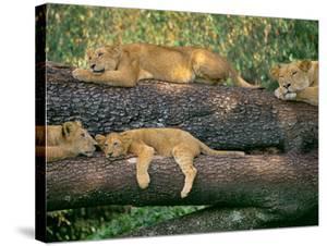 Lions Sleeping, Panthera Leo, Masai Mara Reserve, Kenya by Frans Lanting