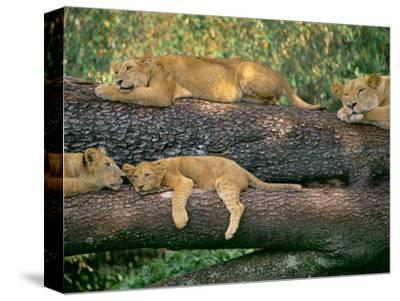 Lions Sleeping, Panthera Leo, Masai Mara Reserve, Kenya
