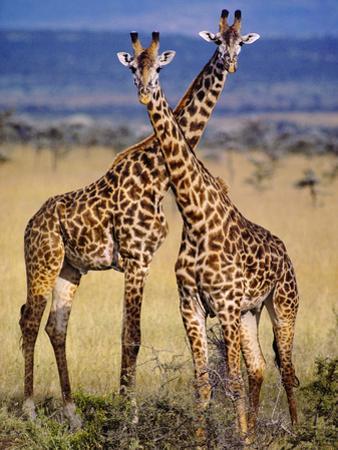 Masai Giraffes, Giraffa Camelopardalis Tippelskirchi, Masai Mara Reserve, Kenya