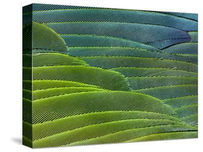 Military Macaw Wing Feathers, Ara Militaris, Peru
