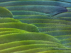 Military Macaw Wing Feathers, Ara Militaris, Peru by Frans Lanting