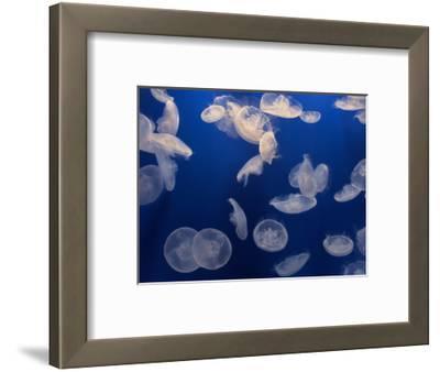 Moon Jellies, Monterey Bay Aquarium, California