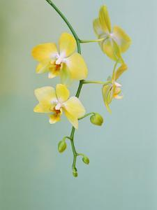 Orchid, Phalaenopsis Hybrid, Private Collection by Frans Lanting