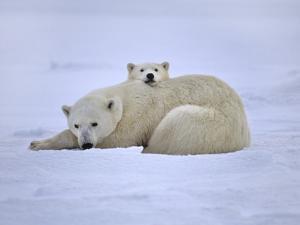 Polar Bear Mother and Cub, Ursus Maritimus, Hudson Bay, Canada by Frans Lanting