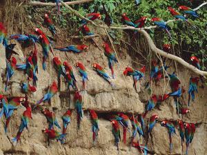 Red-And-Green Macaws at Clay Lick, Ara Chloroptera, Manu National Park, Peru by Frans Lanting