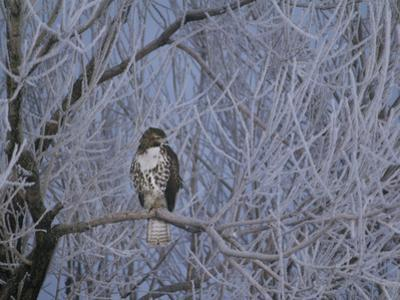 Red-Tailed Hawk in Frosted Tree, Buteo Jamaicensis, Klamath Basin Nat Wildlife Refuge, California by Frans Lanting