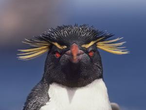 Rockhopper Penguin, Eudyptes Chrysocome, Falkland Islands by Frans Lanting