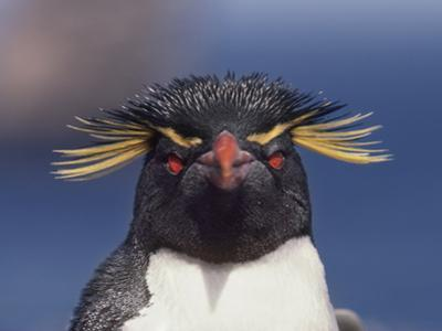 Rockhopper Penguin, Eudyptes Chrysocome, Falkland Islands by Frans Lanting