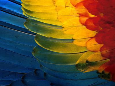 Scarlet Macaw Wing Plumage, Manu National Park, Peru by Frans Lanting