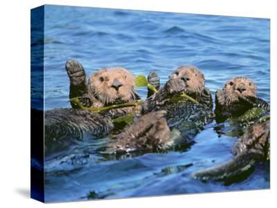 Sea Otters in Kelp, Monterey Bay, California