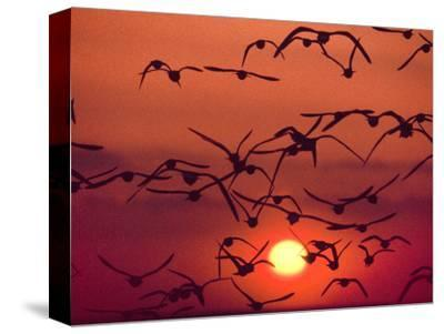 Shorebirds in Flight with Setting Sun, Delaware Bay, New Jersey