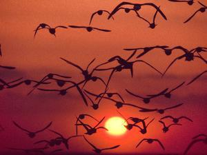Shorebirds in Flight with Setting Sun, Delaware Bay, New Jersey by Frans Lanting