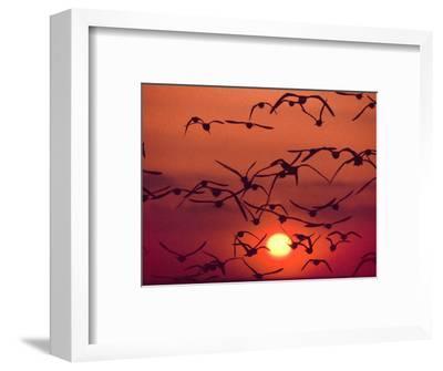 Shorebirds in Flight with Setting Sun, Delaware Bay, New Jersey