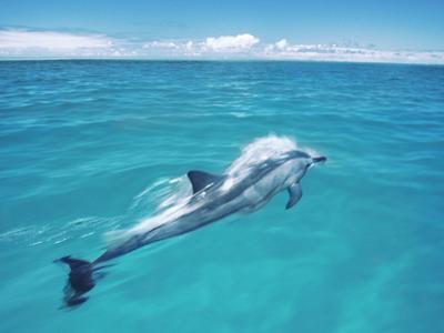 Spinner Dolphin, Stenella Longirostris, Midway Atoll National Wildlife Refuge, Hawaii