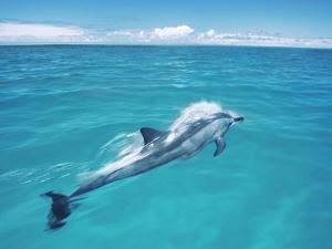 Spinner Dolphin, Stenella Longirostris, Midway Atoll National Wildlife Refuge, Hawaii by Frans Lanting