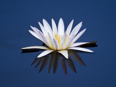 Water Lilies, Botswana by Frans Lanting