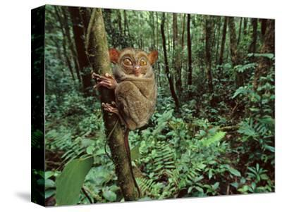 Western Tarsier Clinging to Tree, Tarsius Bancanus, Sabah, Borneo
