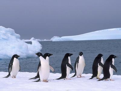 Antarctica, colony of adelie penguins