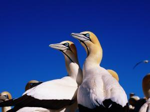 Cape Gannets at Colony by Frans Lemmens