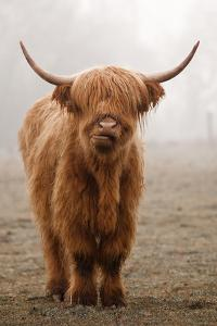 Scottish Highland Cow by Franz Peter Rudolf