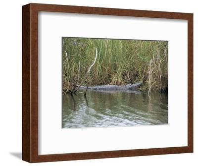 Alligator, Anhinga Trail, Everglades National Park, Florida, USA
