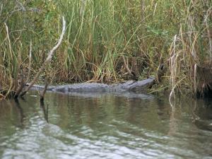 Alligator, Anhinga Trail, Everglades National Park, Florida, USA by Fraser Hall