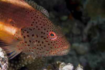 Freckled Hawkfish (Paracirrhites Forsteri) a Reef Fish That Feeds on Small Fish and Shrimps-Louise Murray-Photographic Print