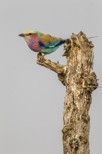 South Londolozi Game Reserve. Lilac-Breasted Roller Bird on Stump by Fred Lord