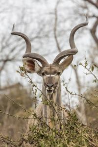South Londolozi Private Game Reserve. Adult Greater Kudu by Fred Lord