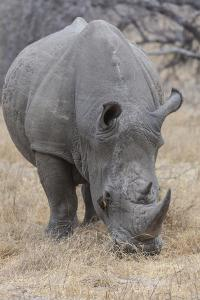 South Londolozi Private Game Reserve. Close-up of Rhinoceros Grazing by Fred Lord